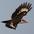 Female in flight. Note: dark forecrown and black malar.