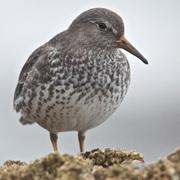 Winter plumage.